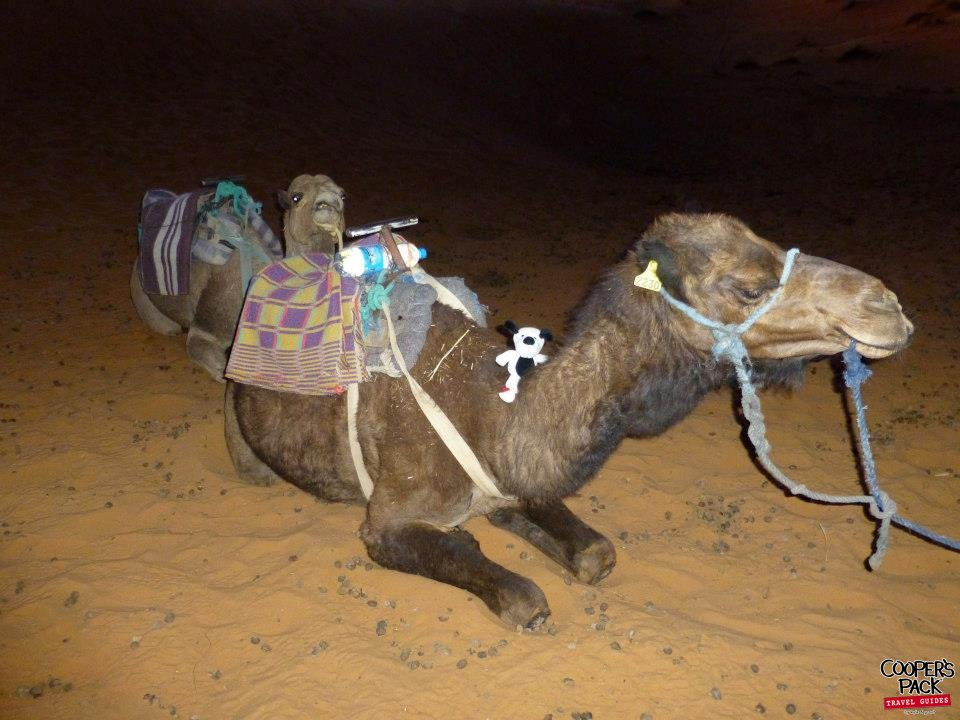 CoopersPack-Morocco-Camel-02