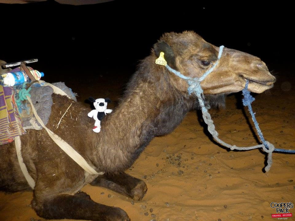 CoopersPack-Morocco-Camel-01